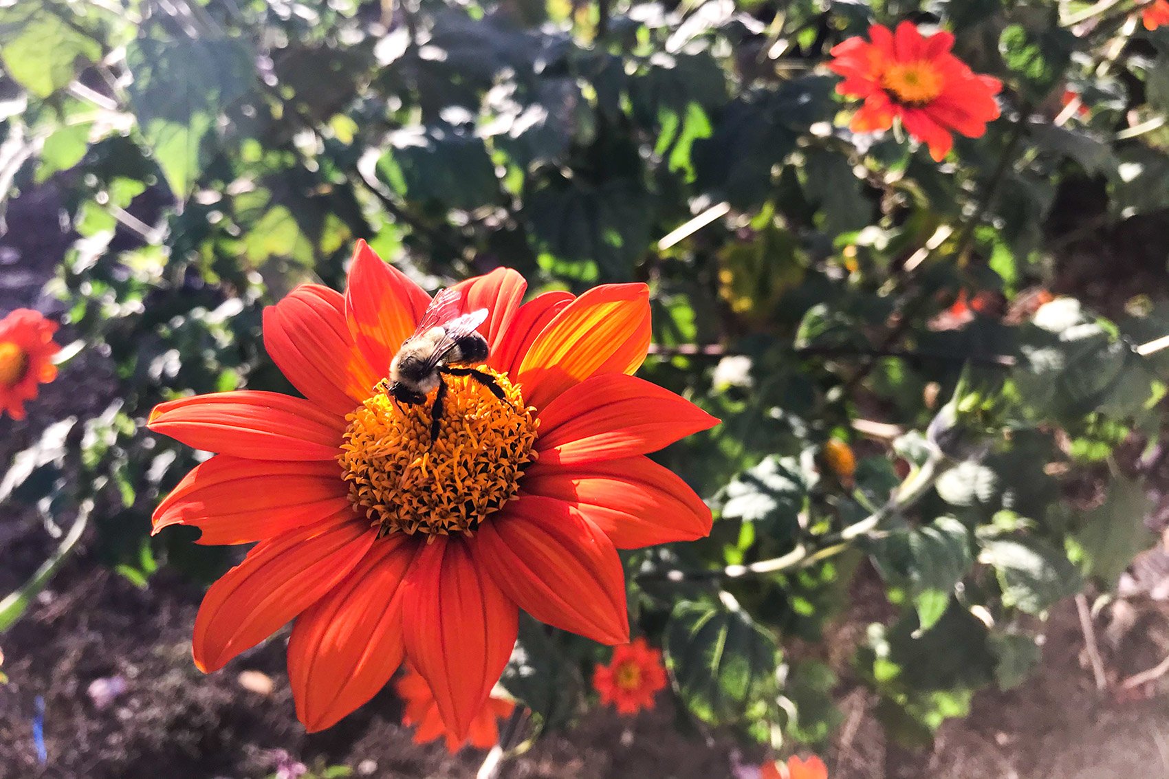 photo: bee on orange flower